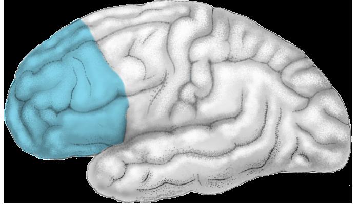 Cortex - prefrontal