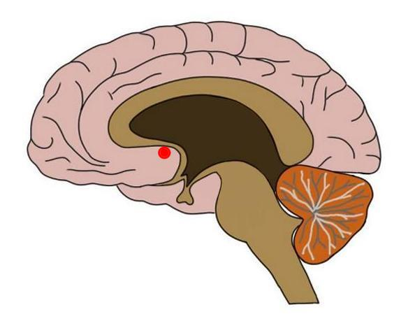nucleus-accumbens
